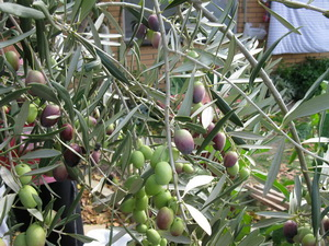 Olives to be picked Preserving workshops