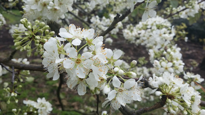 Spring blossoms on the plum